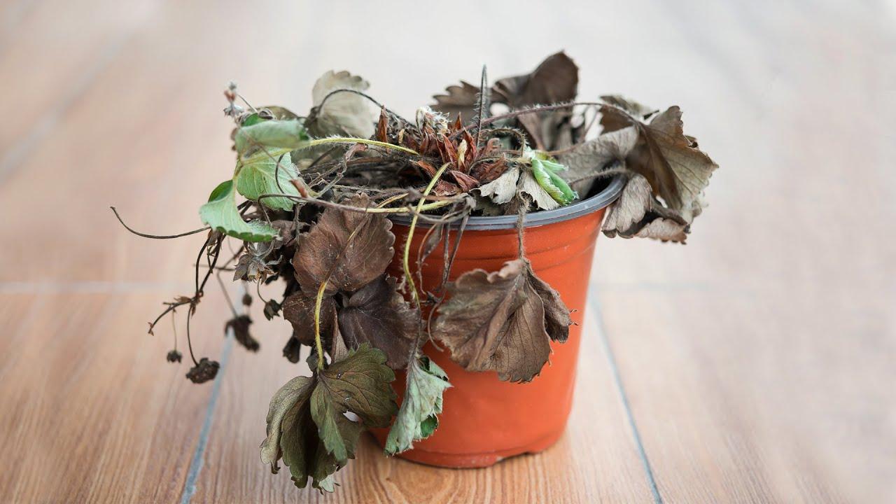 Por quais motivos minha planta pode estar morrendo?